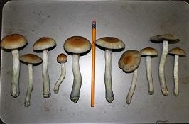 the third wave how to grow psilisybin mushrooms